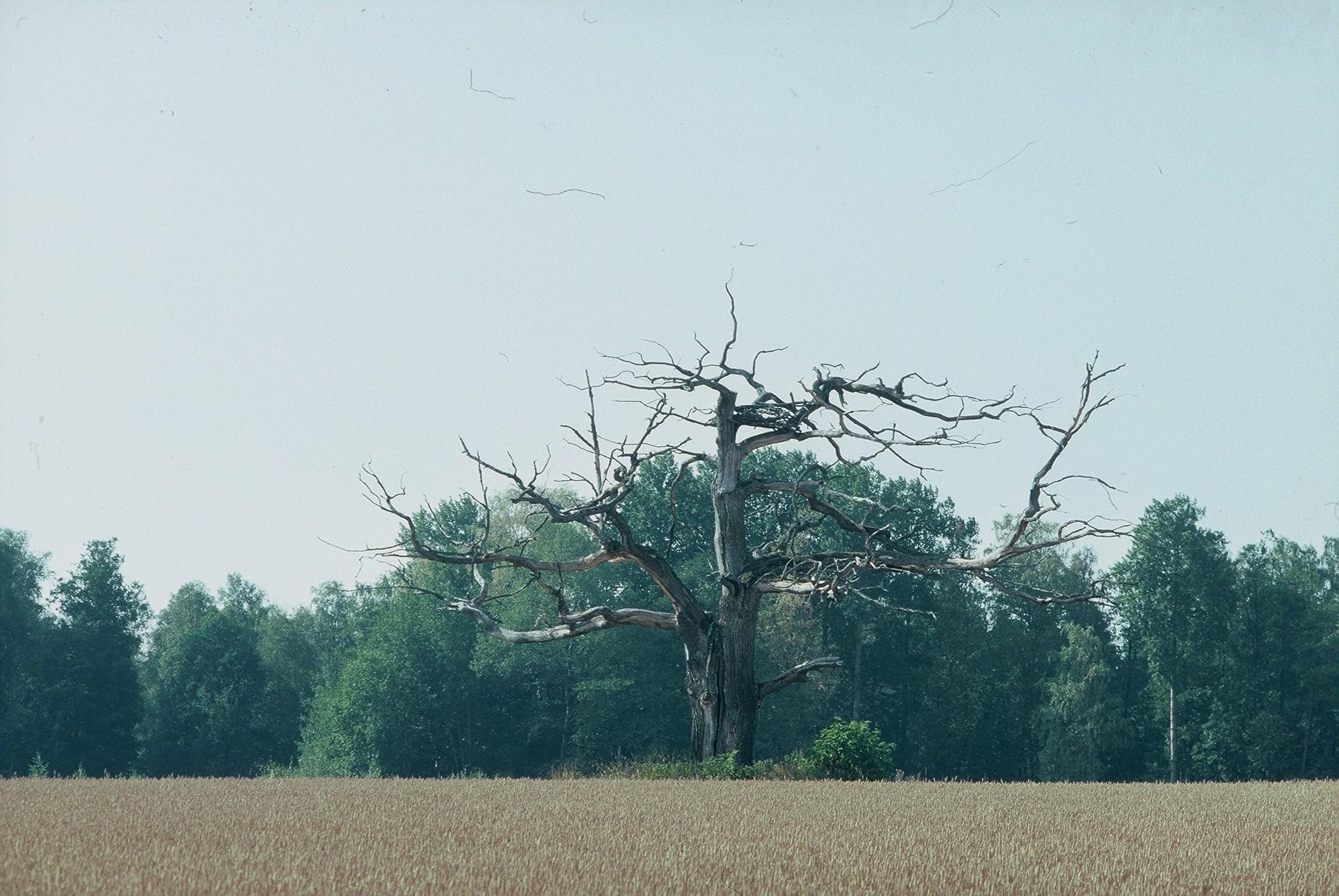 Luonnonmuistomerkki, tammi, Kirkniemi, kuva Lohjan ympäristönsuojelu.