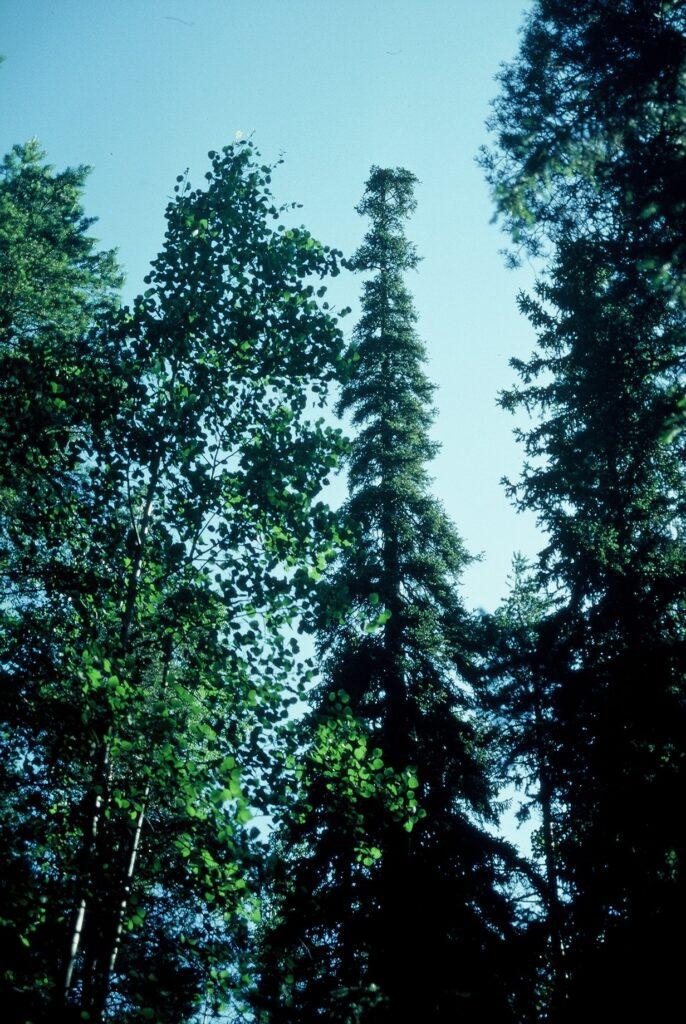 Luonnonmuistomerkki, siperiankuusi, Lylyinen, kuva Lohjan ympäristönsuojelu.