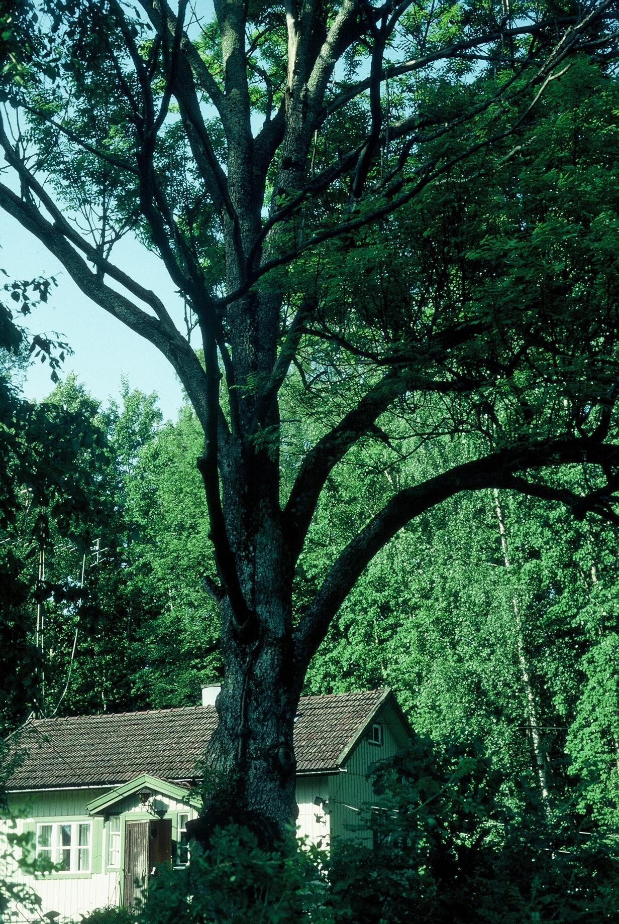 Luonnonmuistomerkki, saarni, Myllylampi, kuva Lohjan ympäristönsuojelu.