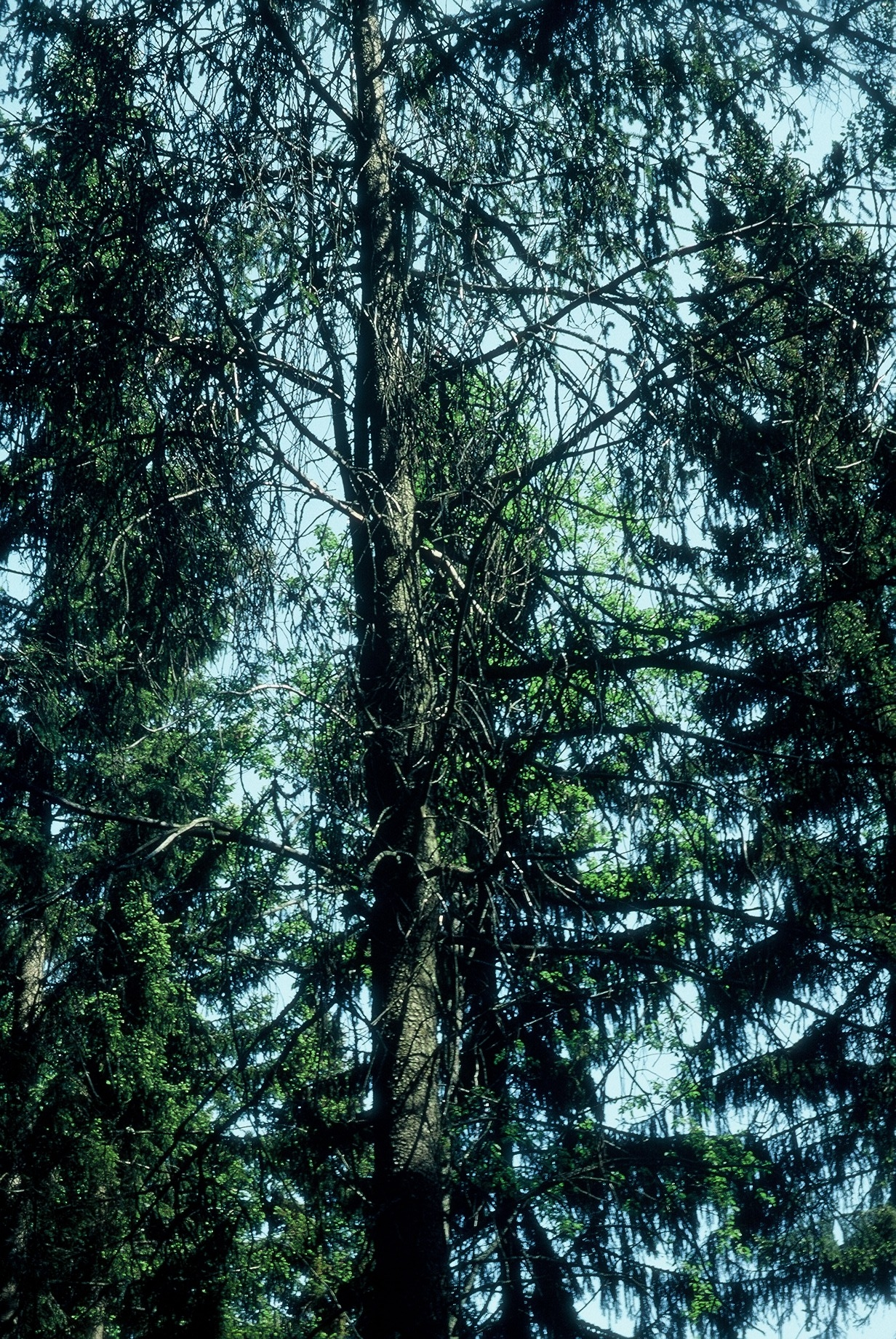 Luonnonmuistomerkki, käärmekuusi, Hiitinen, kuva Lohjan ympäristönsuojelu.