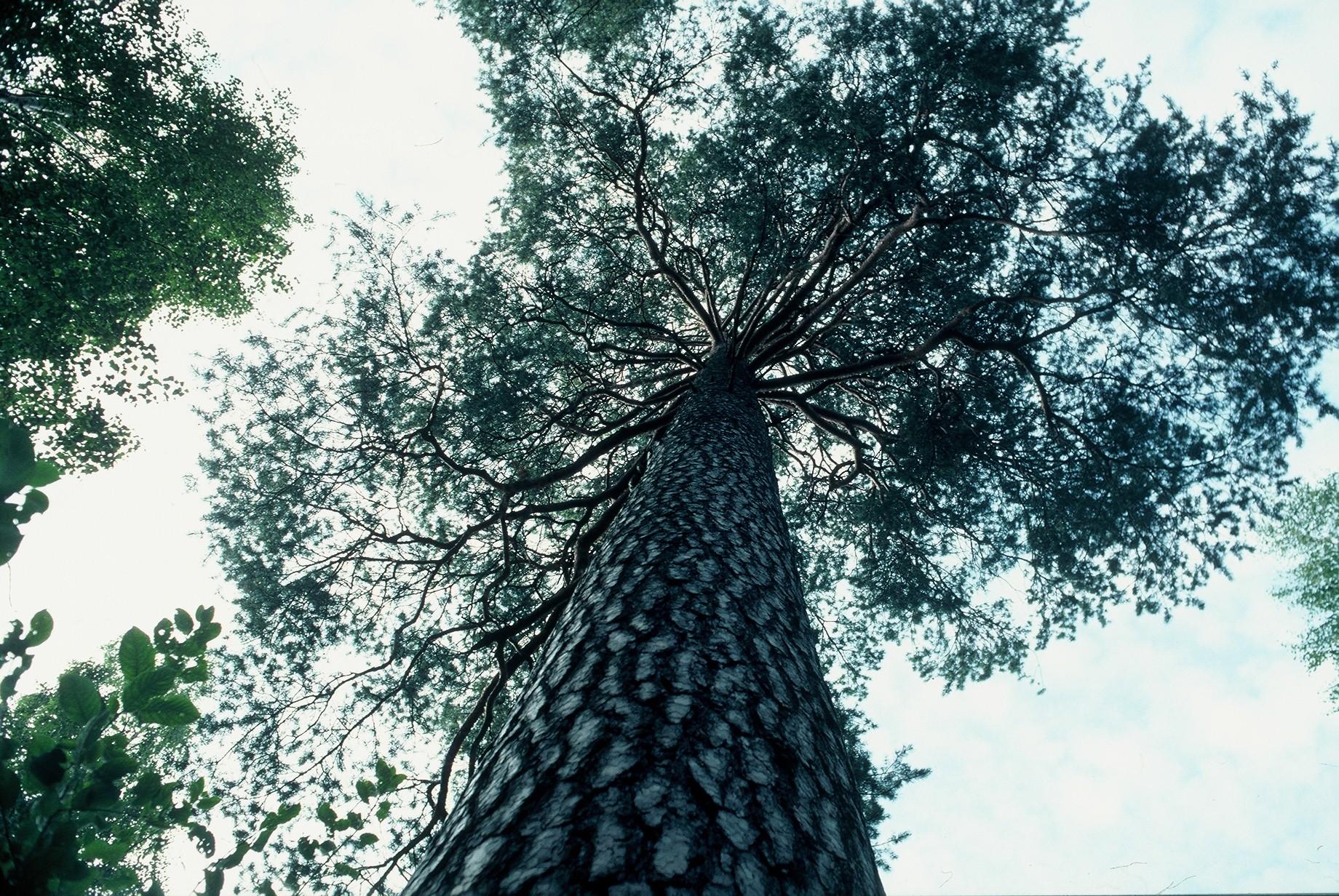 Luonnonmuistomerkki, mänty, Kokkila, kuva Lohjan ympäristönsuojelu.