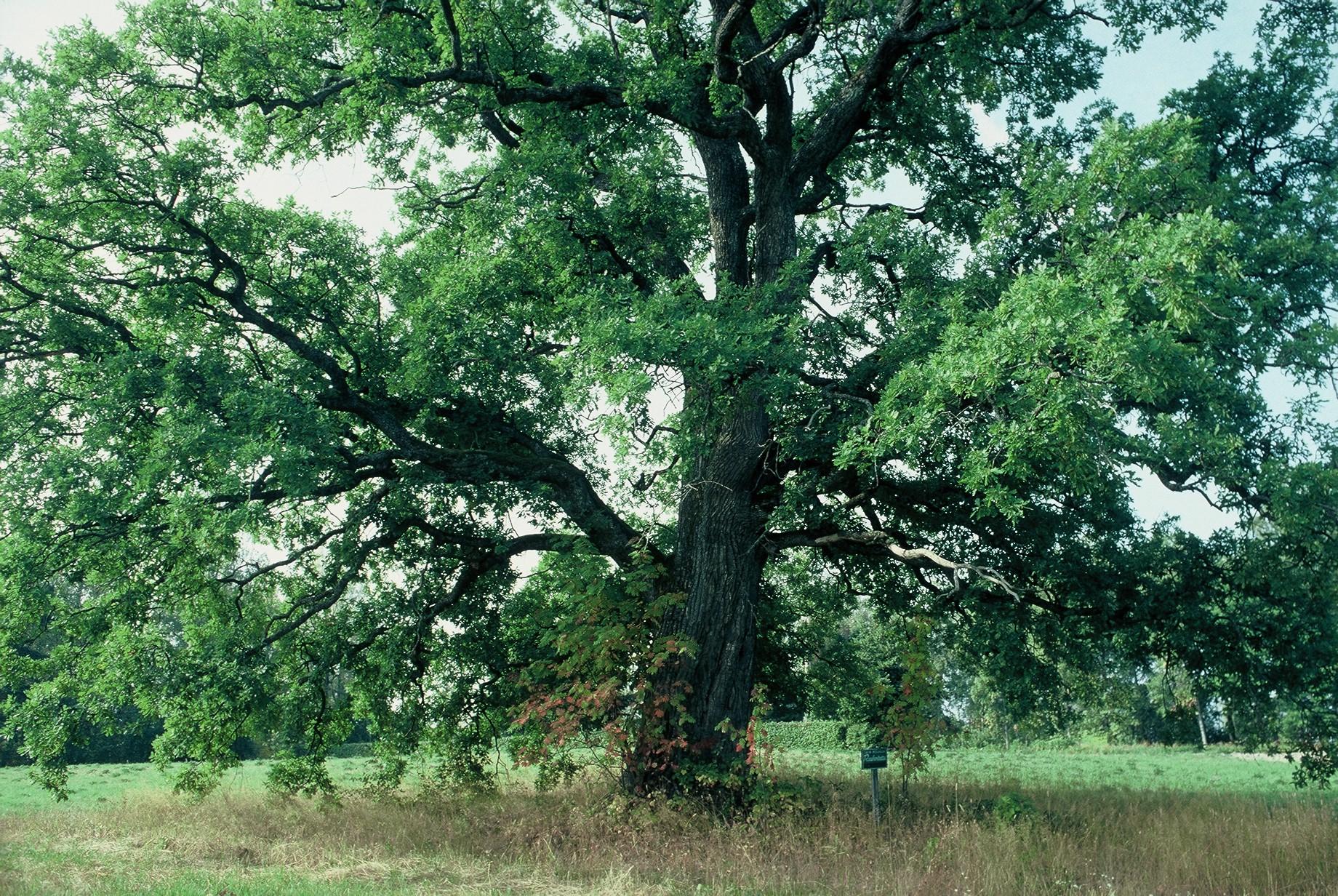 Luonnonmuistomerkki, tammi, Jalassaari, kuva Lohjan ympäristönsuojelu.