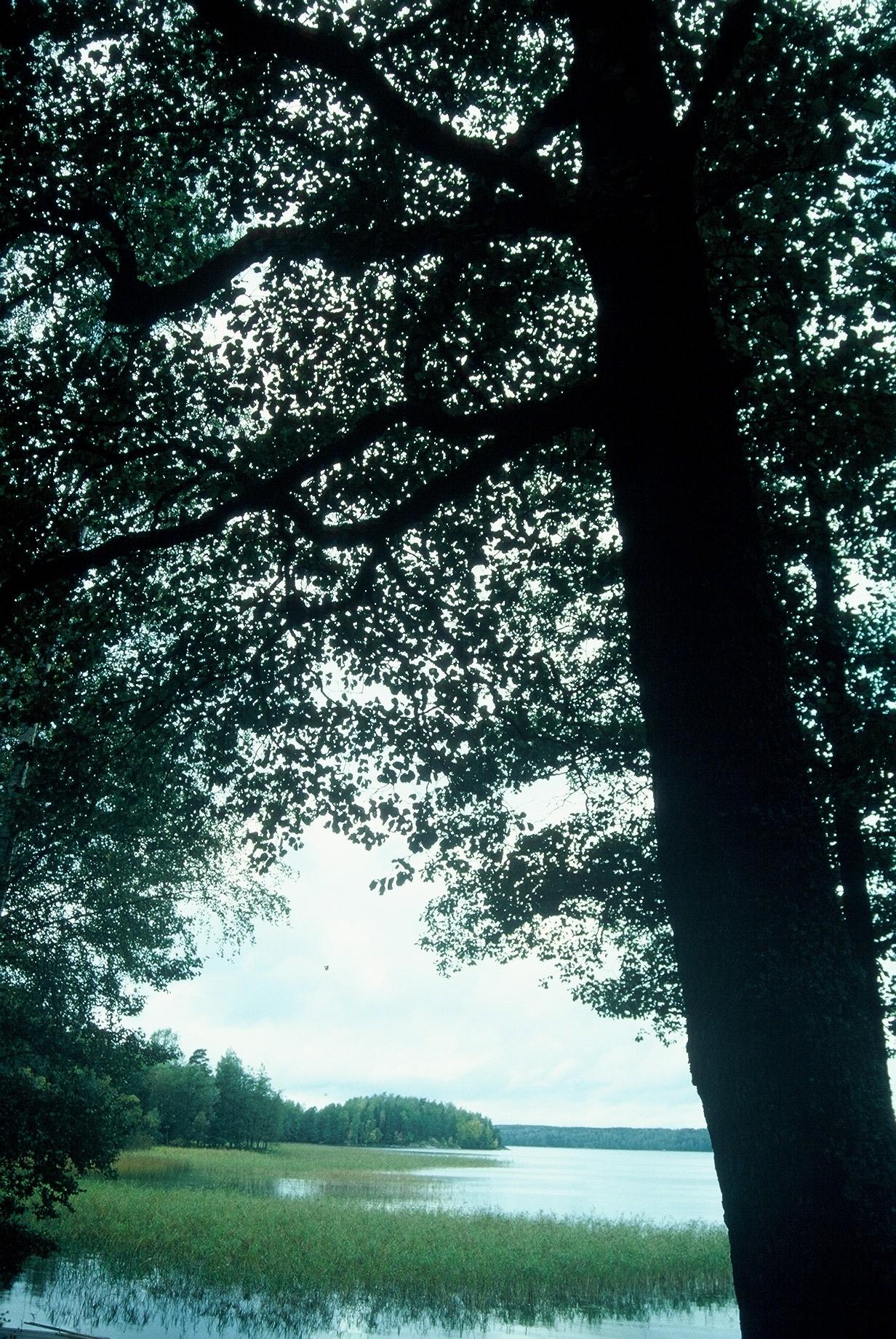 Luonnonmuistomerkki, tervaleppä, Skraatila, kuva Lohjan ympäristönsuojelu.