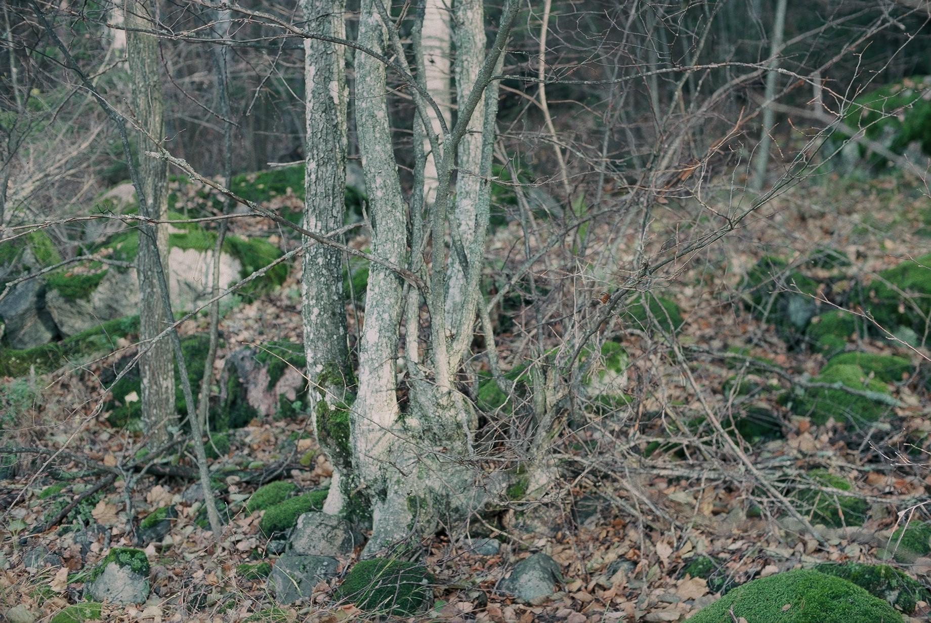 Luonnonmuistomerkki, kynäjalavaryhmä, Jalassaari, kuva Lohjan ympäristönsuojelu.