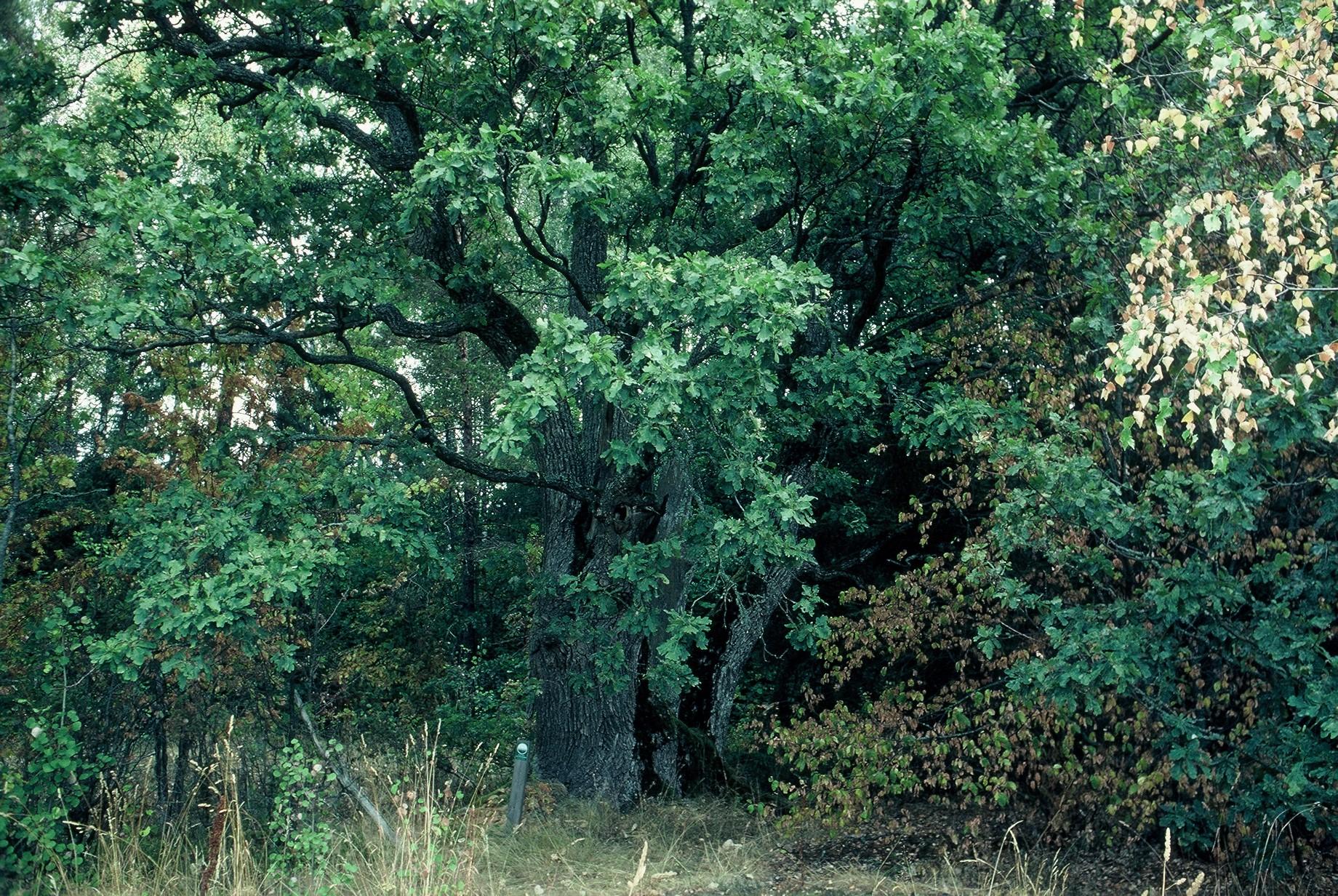 Luonnonmuistomerkki, tammi, Paavola, kuva Lohjan ympäristönsuojelu.