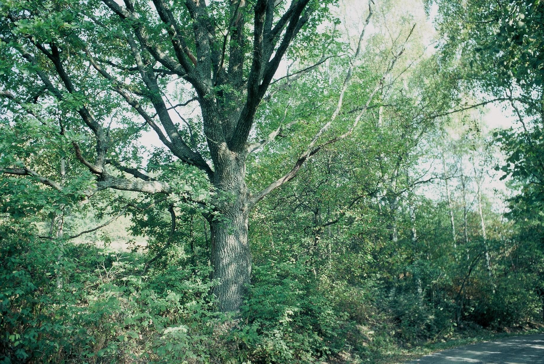 Luonnonmuistomerkki, tammi, Ahtiala, kuva Lohjan ympäristönsuojelu.
