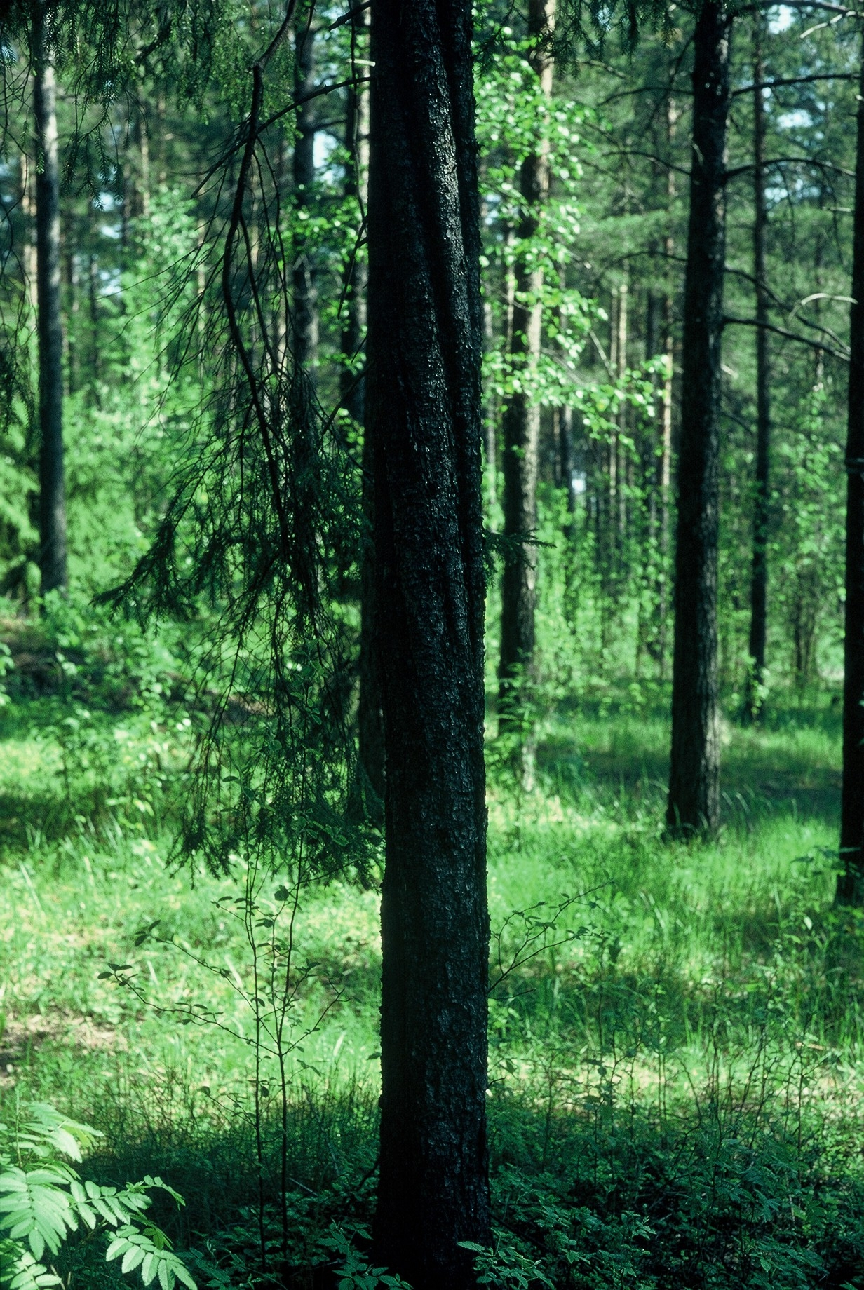 Luonnonmuistomerkki, kierrerunkokuusi, Pappila, kuva Lohjan ympäristönsuojelu.