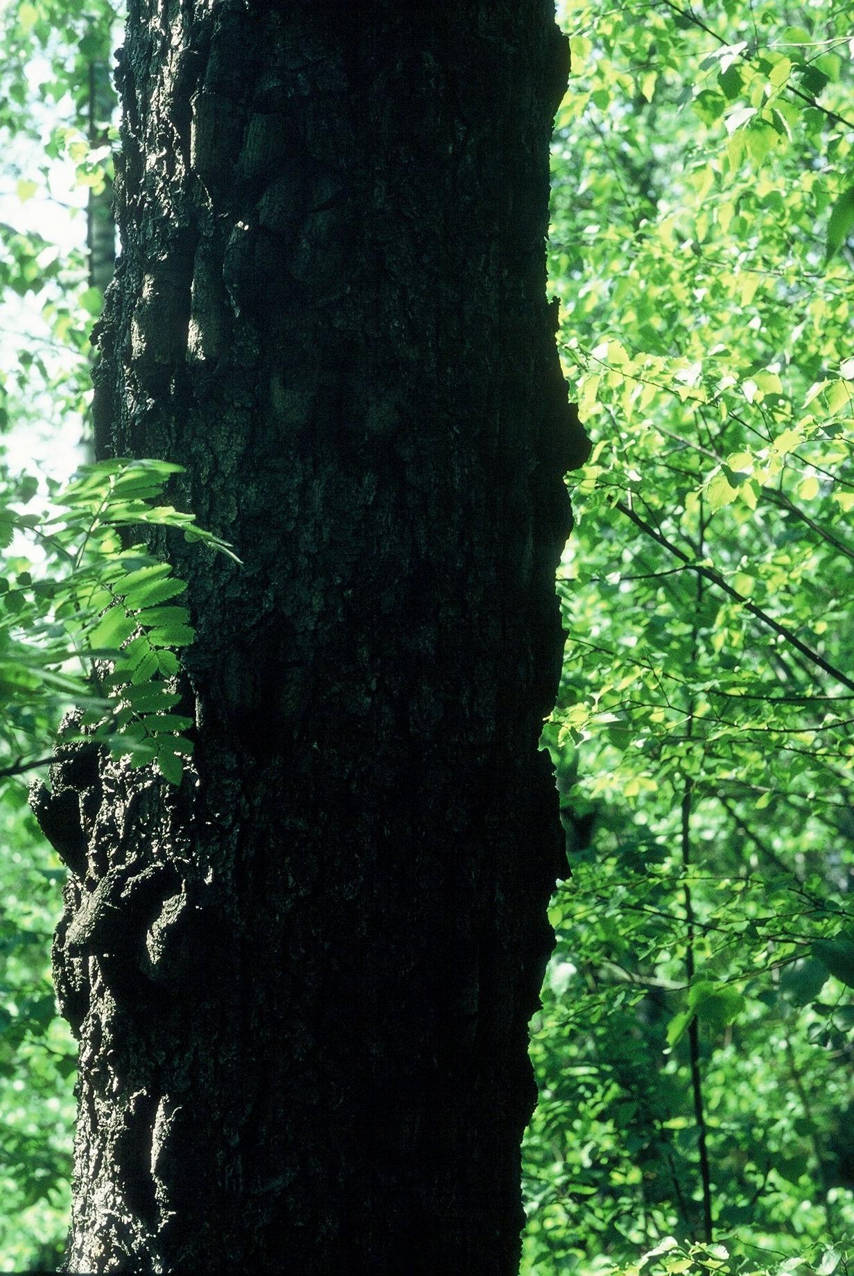Luonnonmuistomerkki, syyläkuusi, Lohjankylä, kuva Lohjan ympäristönsuojelu.