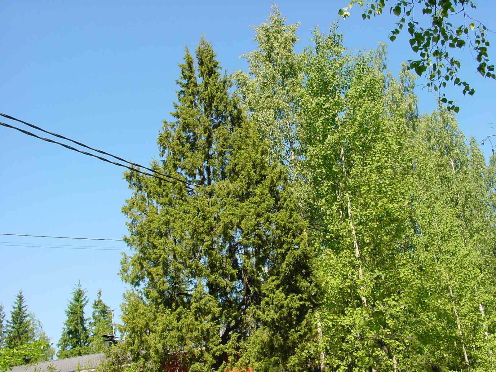 Luonnonmuistomerkki, kataja, Lieviö, kuva Lohjan ympäristönsuojelu.